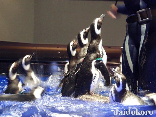 食事中のペンギン | すみだ水族館 水といのちのたわむれ